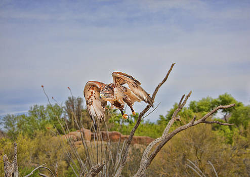 Ferriginous Hawk by Dan Nelson