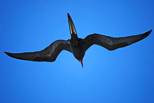 Harvey Barrison - Frigate Bird In Flight