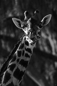 Giraffe by Jason Blalock