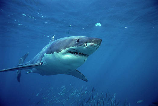 Mike Parry - Great White Shark Carcharodon