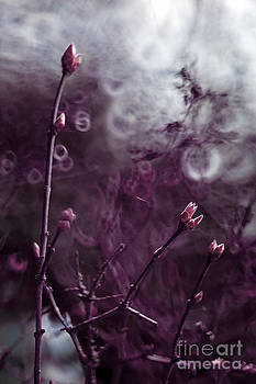 Angel  Tarantella - Lilac tree