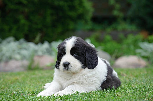 Waldek Dabrowski - Little Landseer puppy portrait