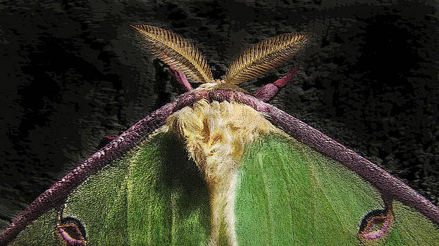 Luna Moth by Elisia Cosentino