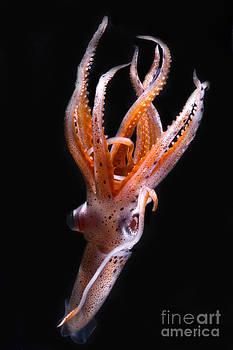 Dante Fenolio - Mesopelagic Squid
