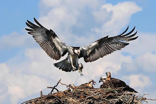 Osprey Hawk by Roger Phipps