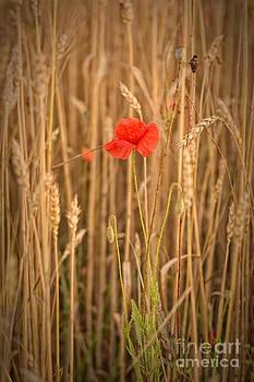 Poppy by James Taylor