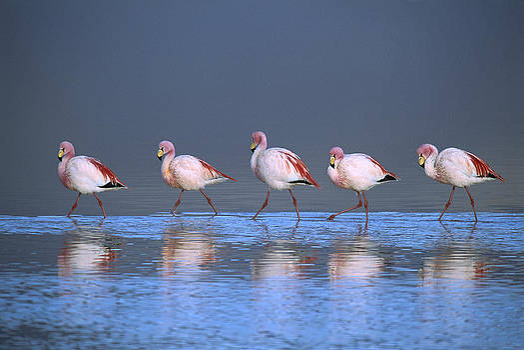 Tui De Roy - Puna Flamingo Phoenicopterus Jamesi