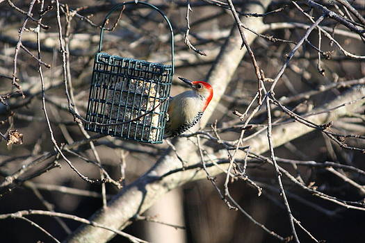 Anne Babineau - red bellied woodpecker