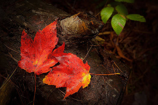 2 Red Leaves 5884  by Ken Brodeur