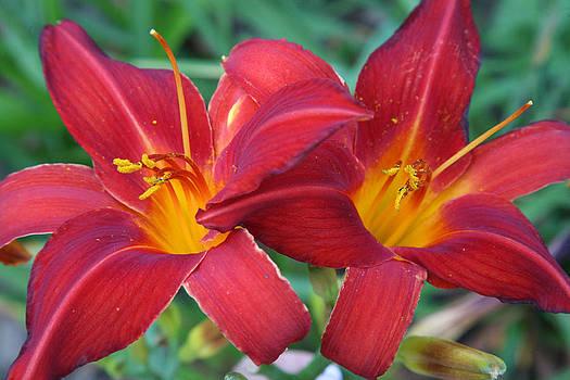 Donna Corless - 2 Red Lilies hz