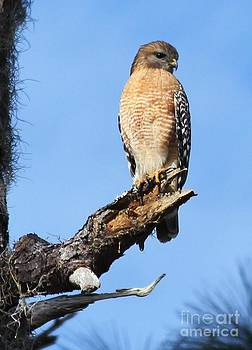 Red Shouldered Hawk by Theresa Willingham