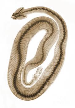 Ted Kinsman - X-ray of Southern Pacific Rattlesnake