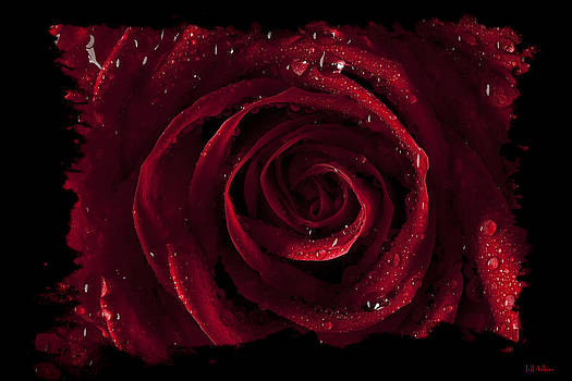 Jeff Adkins - Tattered Rose