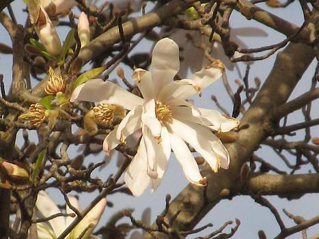 Alfred Ng - white magnolias