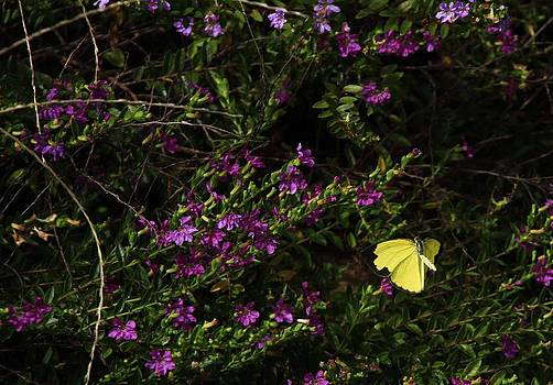 Noel Elliot - Yellow Butterfly