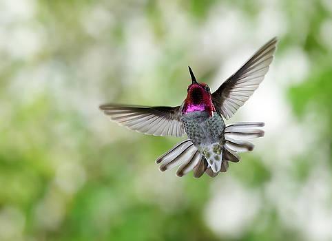 Anna's Hummingbird by Thy Bun