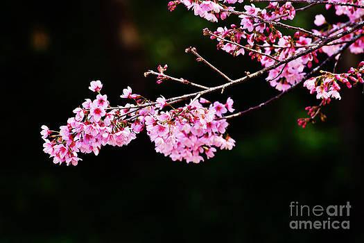 Cherry blossoms sakura by Chaloemphan Prasomphet
