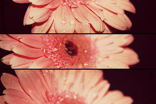 Gerber Daisy by Cathie Tyler