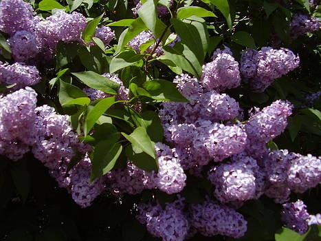 Lilacs by Yvette Pichette