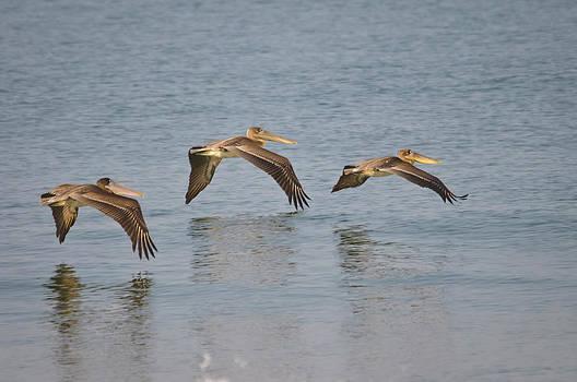 Christine Kapler - Pelicans flying over the ocean