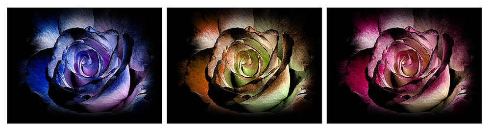 3 Roses Triptych by Robin Hewitt