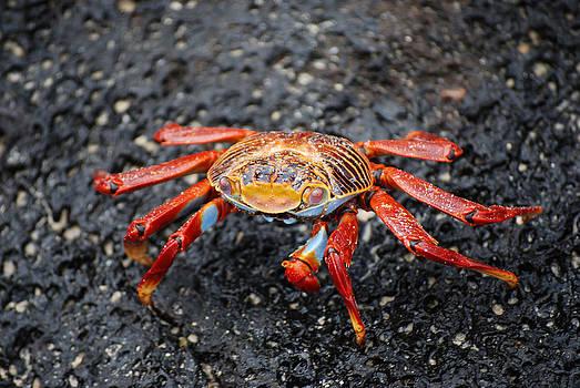 Harvey Barrison - Sally Lightfoot Crab