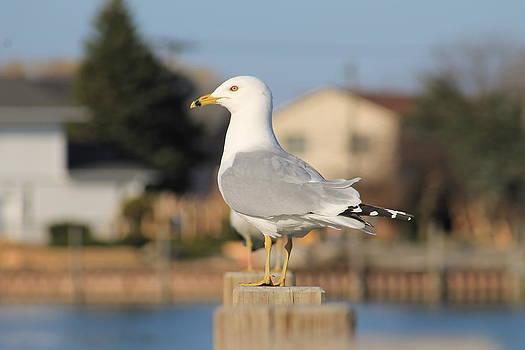 Rebecca Frank - Sea Gull