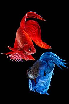 Siamese Fish by Subpong Ittitanakul