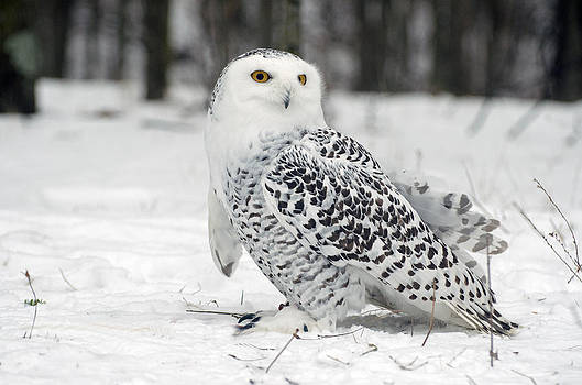 Snow Owl by Cheryl Cencich