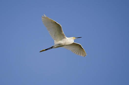 Christine Kapler - Snowy Egret