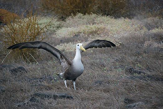 Harvey Barrison - Waved Albatross