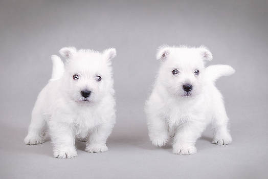 Waldek Dabrowski - West Highland White Terrier puppies