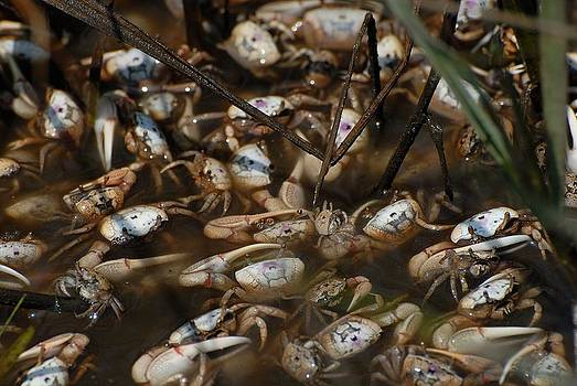 Fiddler crabs by David Campione