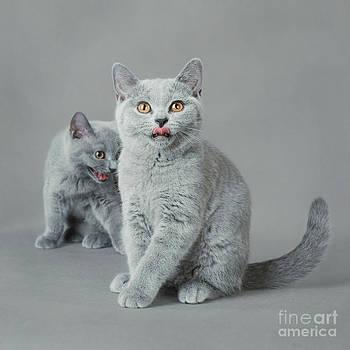 Waldek Dabrowski - British shorthair kitten