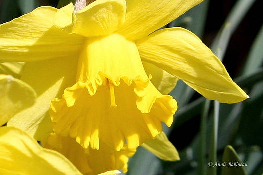 Anne Babineau - daffodil days