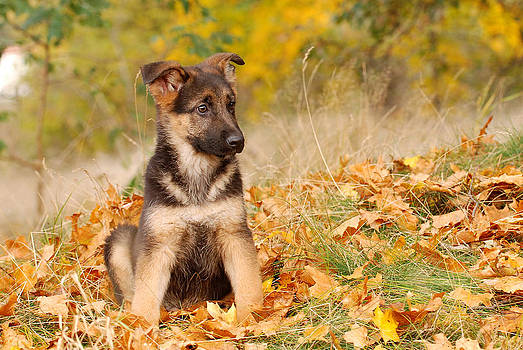 Waldek Dabrowski - German shepherd dog puppy