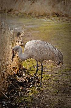 Sandhill Crane by Tri Tran