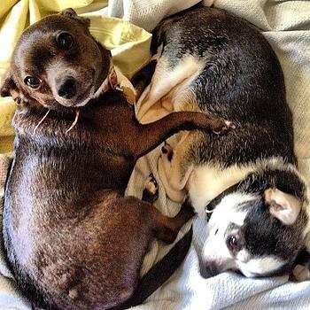 #dog, #chihuahua, #buster #gracie by Shari Malin