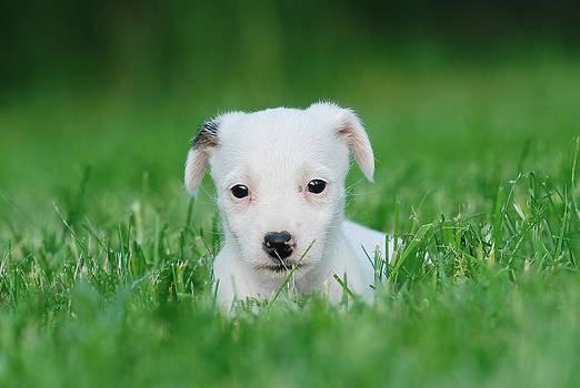Waldek Dabrowski - Jack Russell Terrier puppy