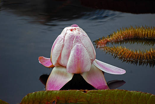 Harvey Barrison - Water Lily