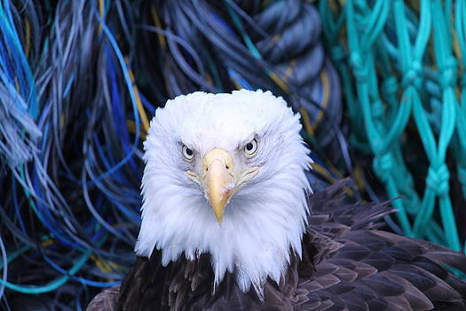 Bald Eagle  by Dean Gribble