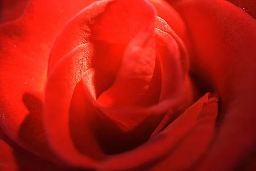 The Rose by Andreas Hartmann
