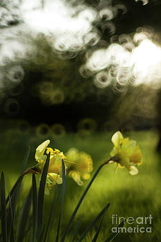 Angel  Tarantella - Daffodils