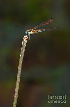 A Dragon - Fly by Jiss Joseph