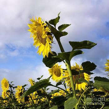 BERNARD JAUBERT - A field of Sunflowers  Auvergne. France