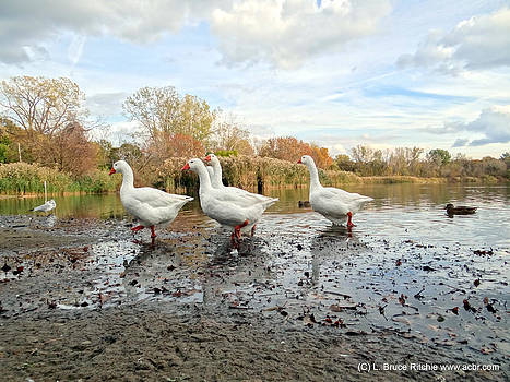 A Gaggle of Geese II by Bruce Ritchie