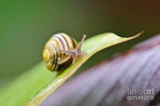 Christine Kapler - A garden snail climbing on a green leaf