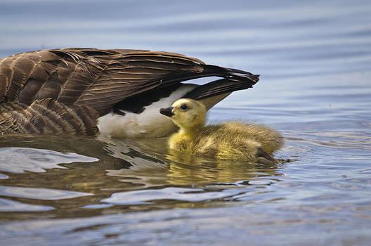 Christine Kapler - a gosling under mummy wing