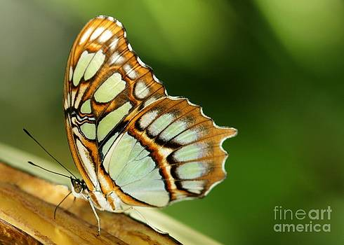 Sabrina L Ryan - A Malachite Butterfly
