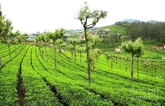 A Mountan Tea Garden by Jiss Joseph